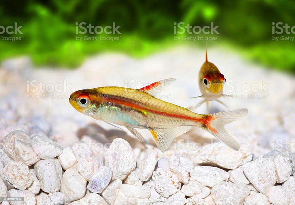 Glowlight Tetra Hemigrammus erythrozonus freshwater aquarium fish stock photo