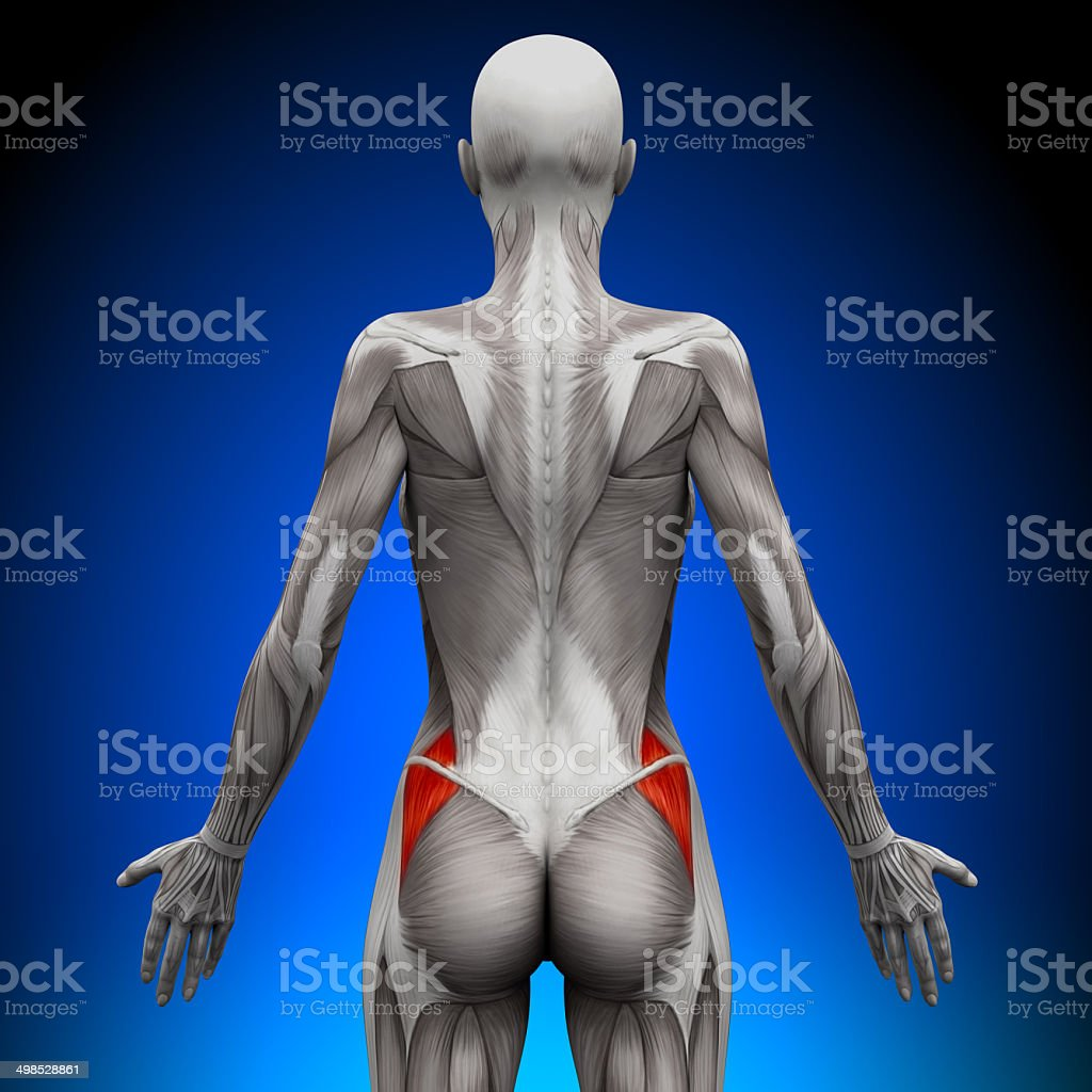 Glutes Medius - Female Anatomy Muscles stock photo