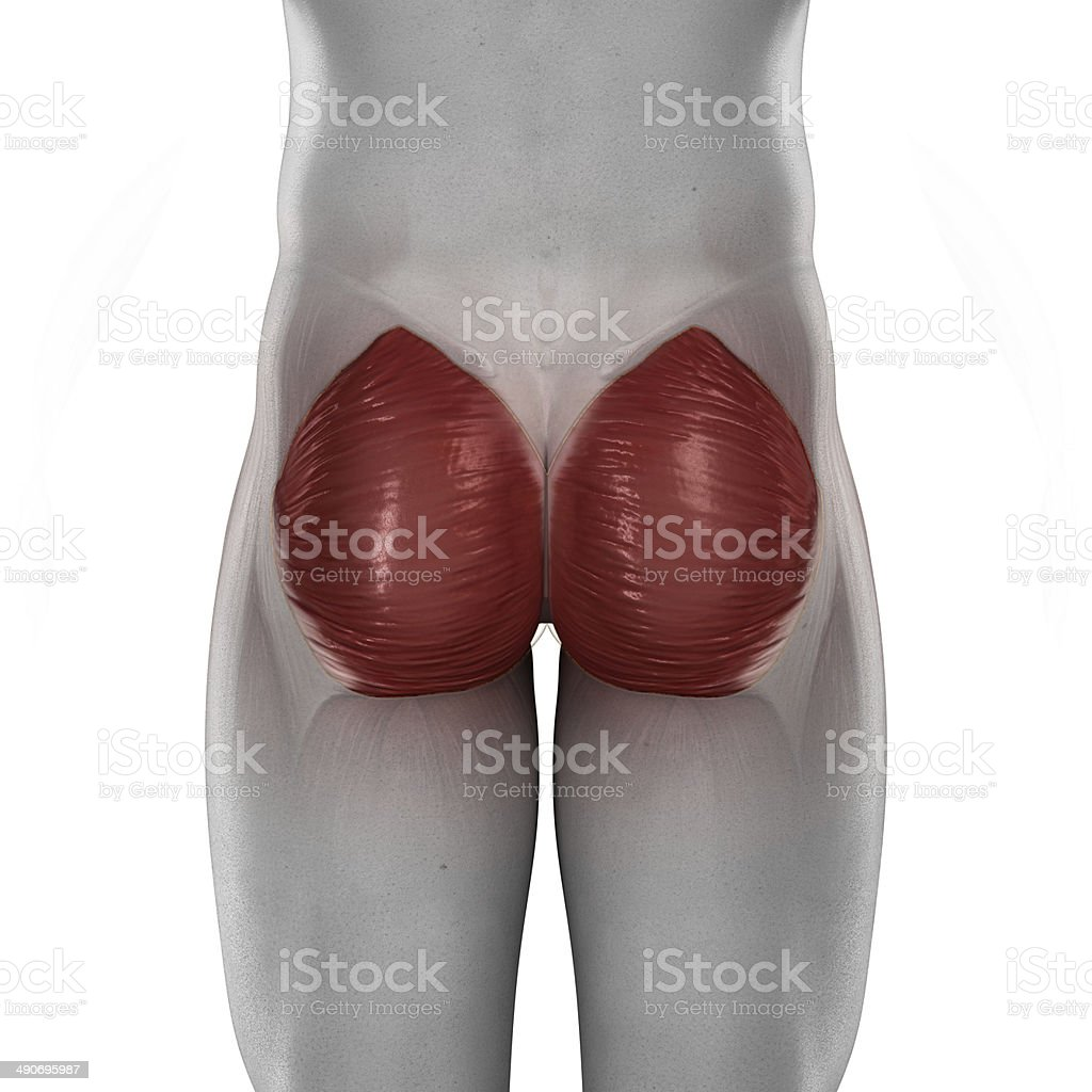 Gluteus maximus male muscle anatomy posterior view isolated stock photo