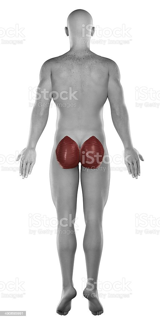 Gluteus maximus male muscle anatomy posterior view isolated royalty-free stock photo