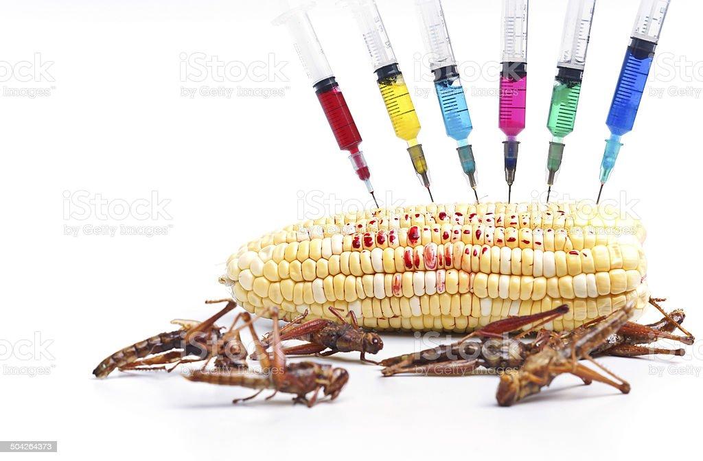 gmo corn stock photo