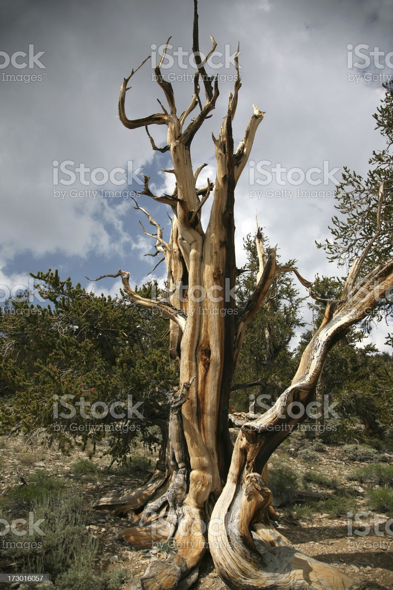 Gnarled Ancient Bristlecone Pine royalty-free stock photo