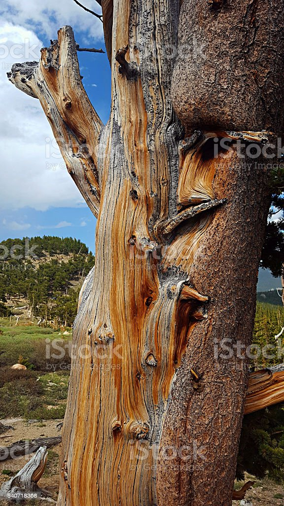 gnarled bristlecone pine trunk stock photo