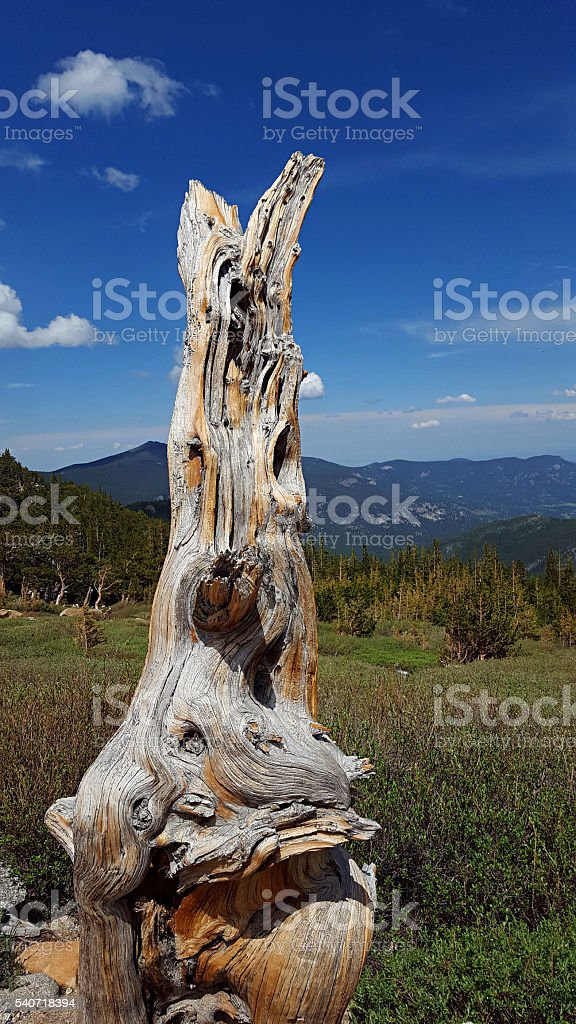 gnarled, dead bristlecone pine trunk stock photo