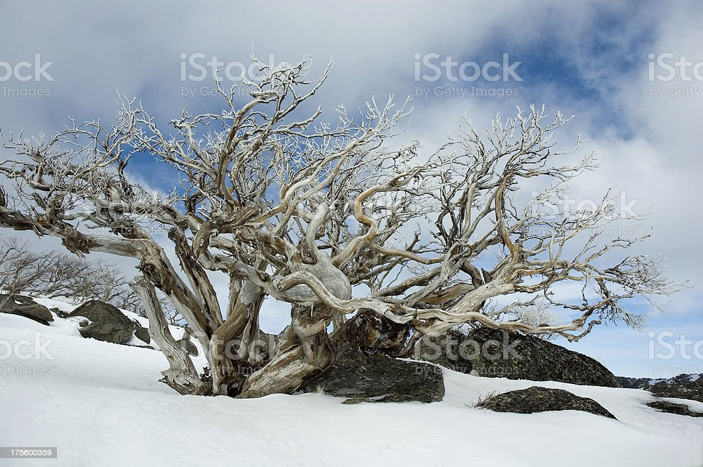 Gnarled Snow Gum stock photo