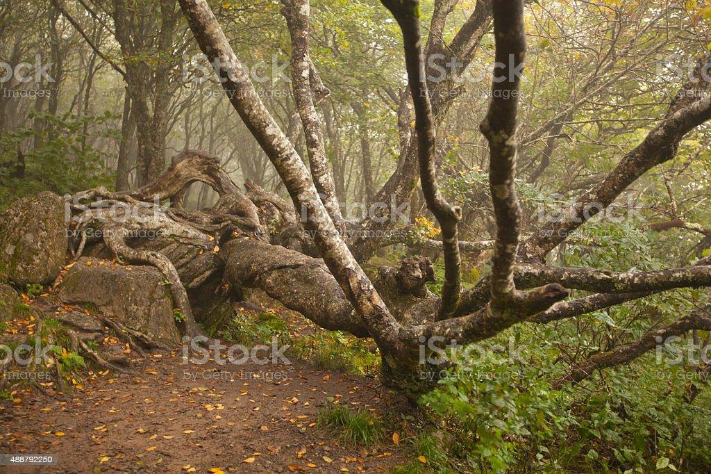 Gnarled Tree stock photo