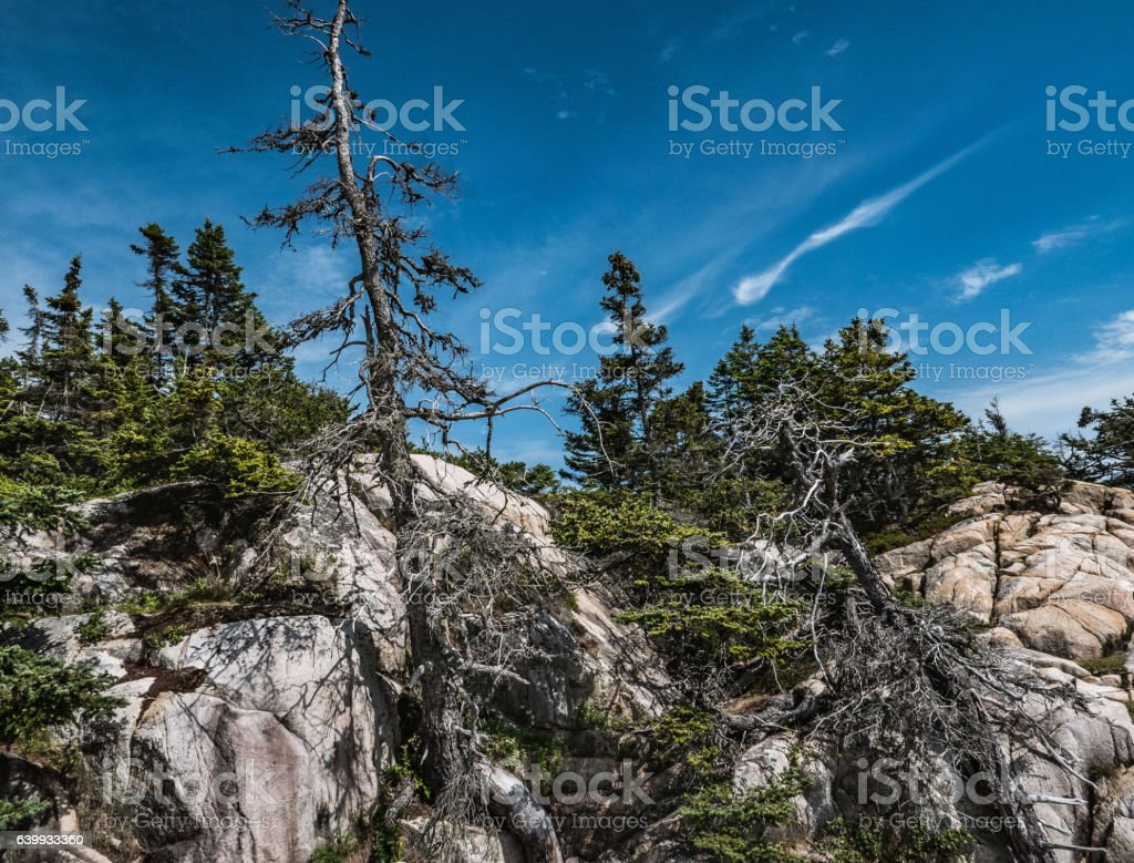 Gnarled Trees, Pink Granite, Cirrus Clouds, Schoodic Point stock photo