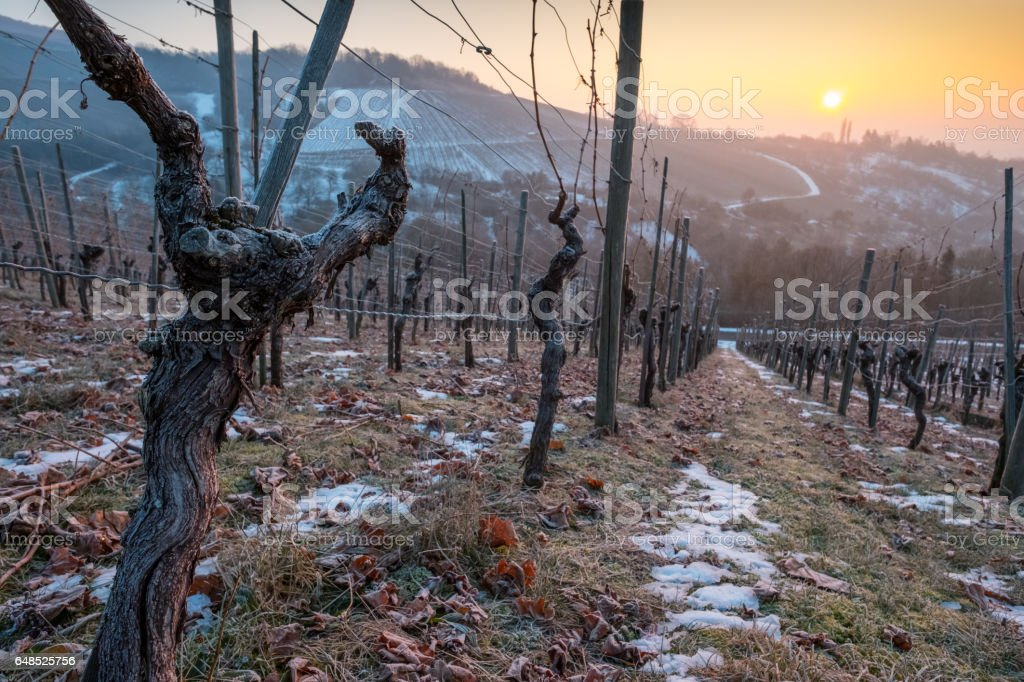 Gnarled vine in a vineyard with snow stock photo
