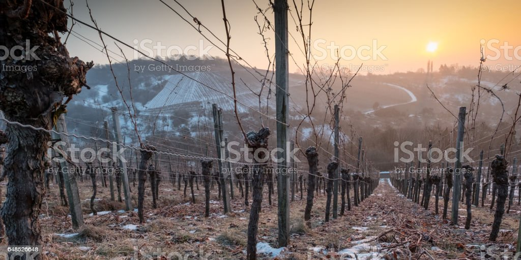 Gnarled vine in a vineyard with sun stock photo