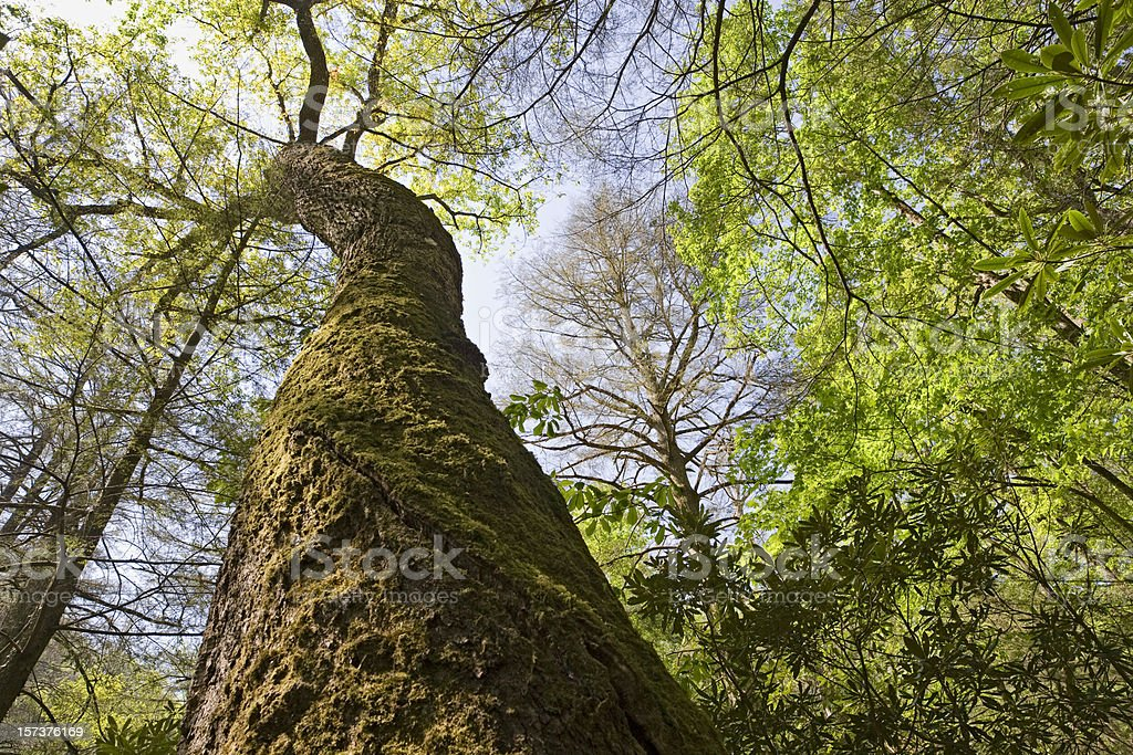 Gnarley old tree royalty-free stock photo