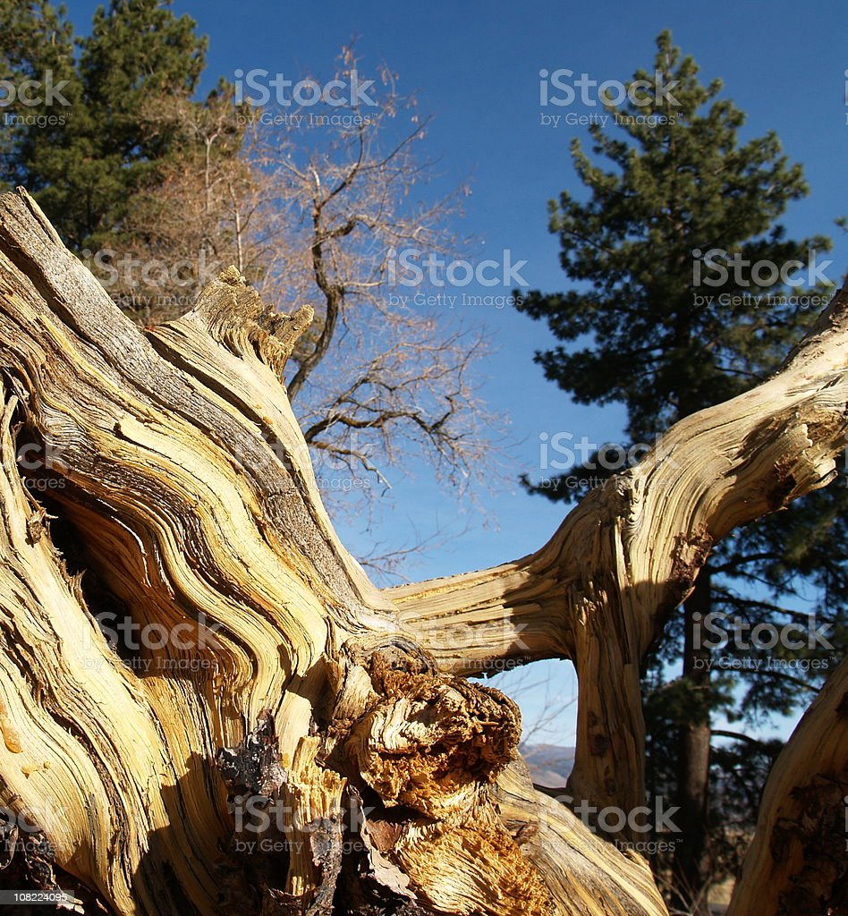 Gnarley Wood - Forest stock photo