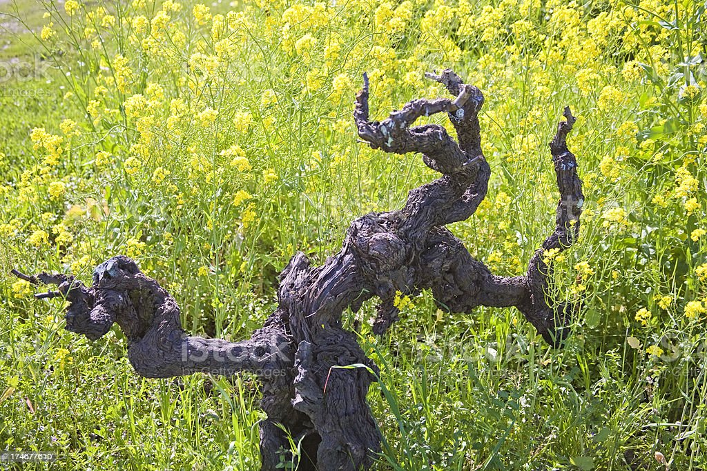 Gnarly Old Zinfandel Vine in Sonoma County CA, Spring Mustard royalty-free stock photo