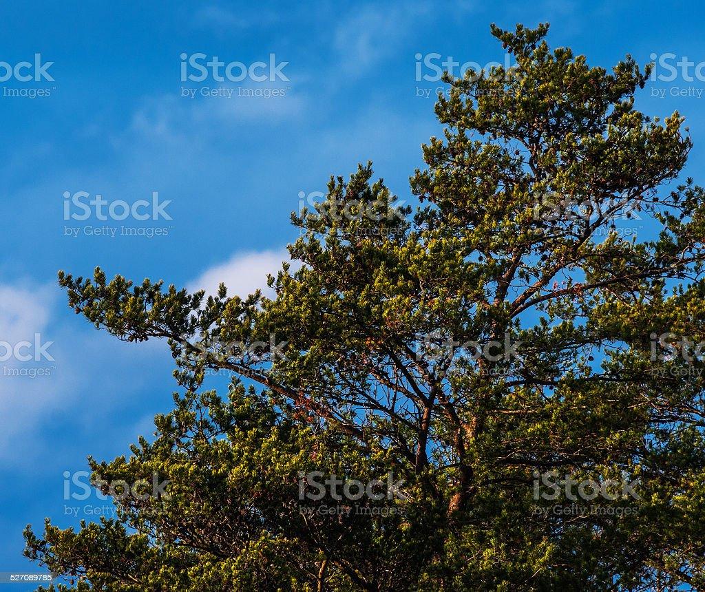 Gnarly Pine Tree foto royalty-free