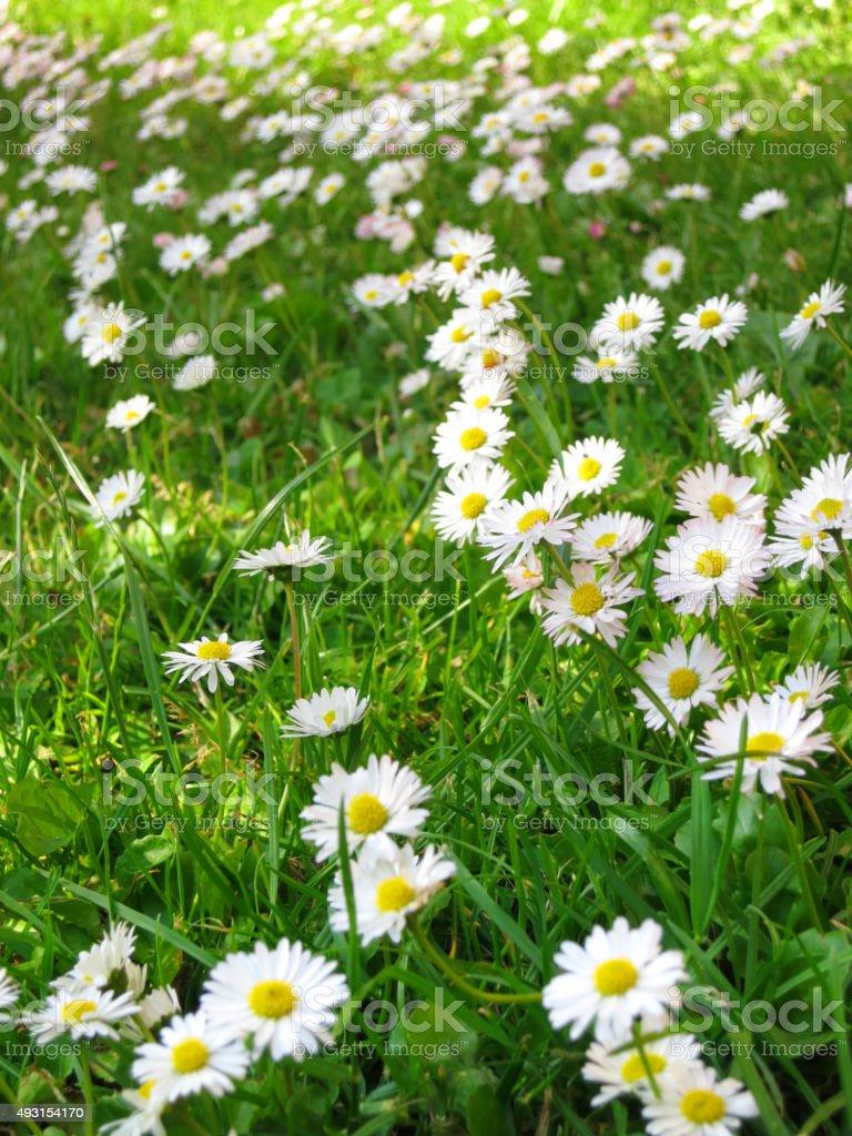 Gänseblümchen, Bellis perennis stock photo