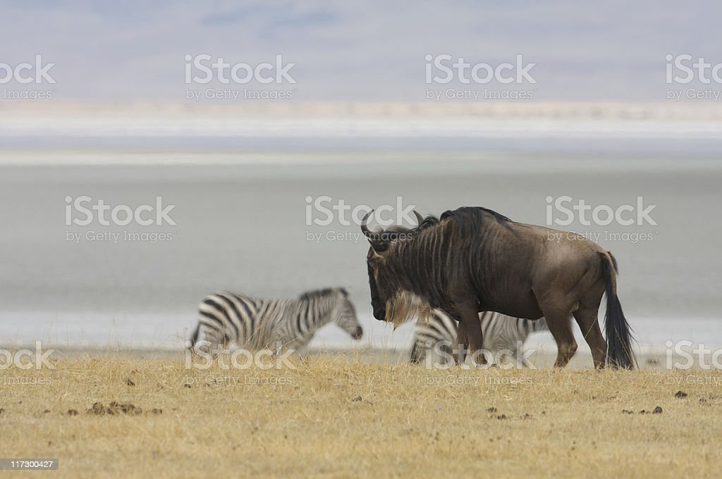 Gnu and zebras royalty-free stock photo