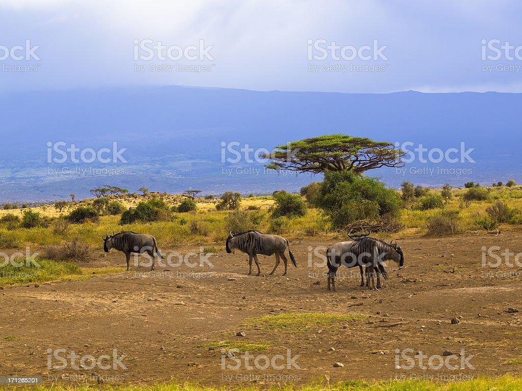Gnu at Amboseli stock photo