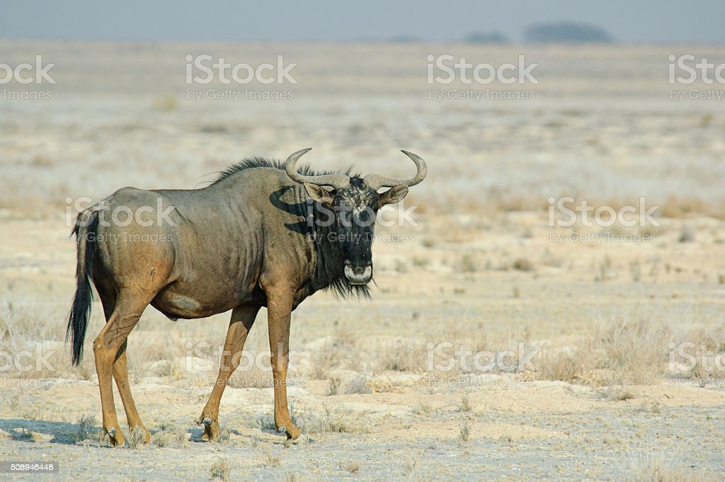 Gnu in the savannah stock photo
