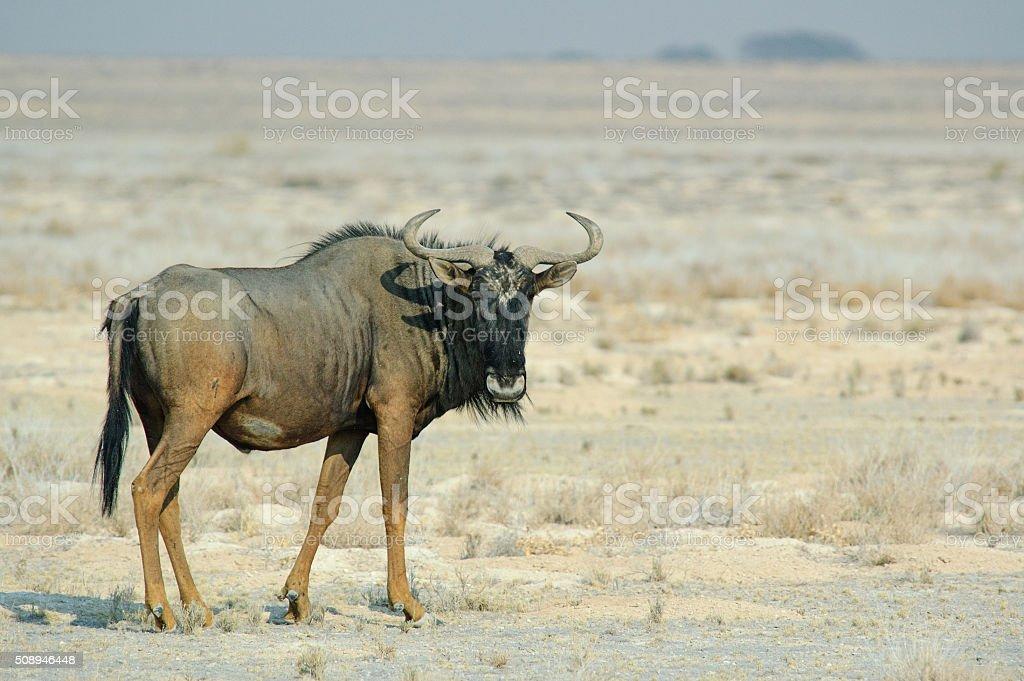 Gnu in the savannah stock photo