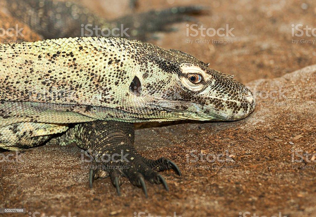 goanna lizard stock photo