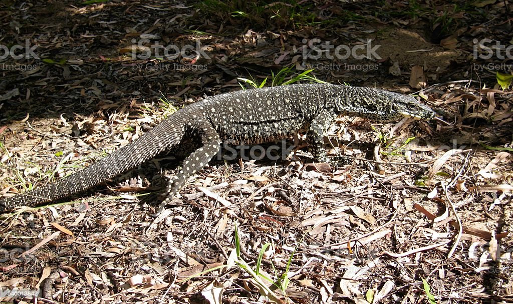 Goanna, Monitor Lizard stock photo