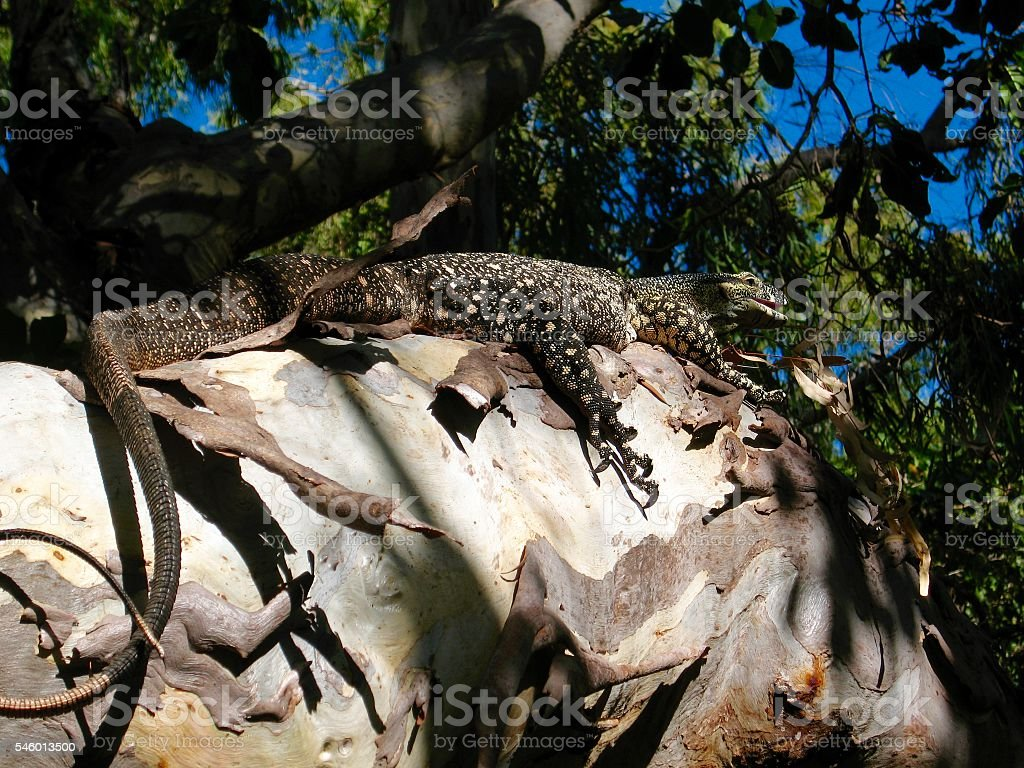 Goanna, Monitor Lizard Up a Tree stock photo