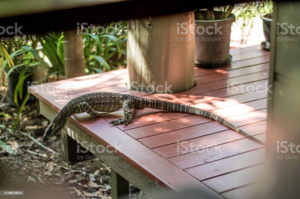 Goanna - Native Australian Lizard on Balcony stock photo