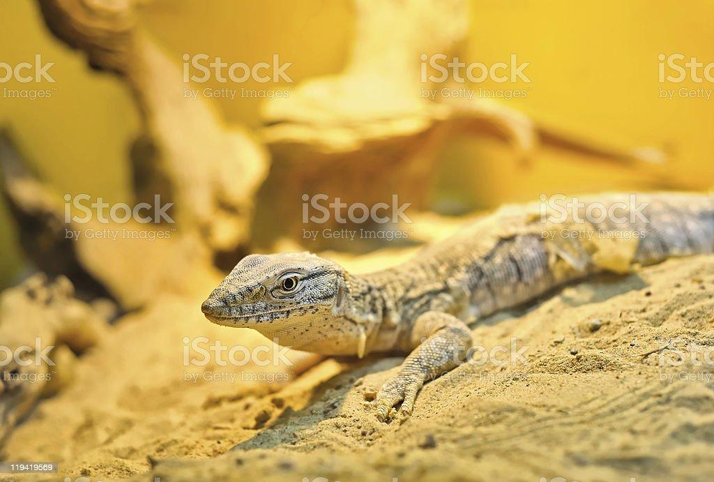 Goanna on the sand stock photo