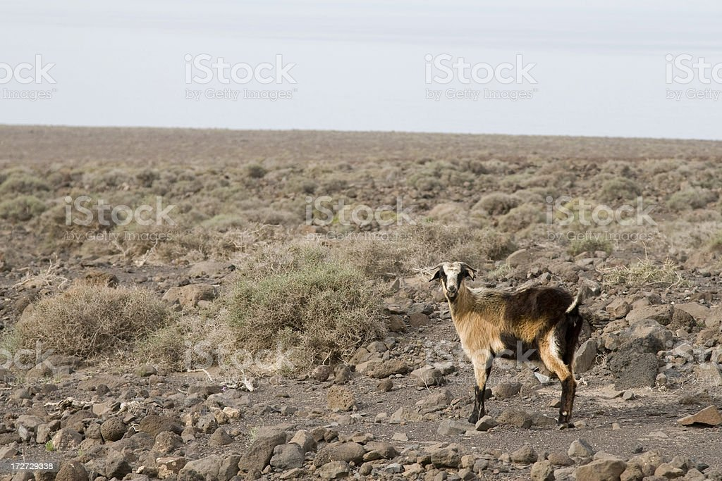 Goat alone on an island royalty-free stock photo