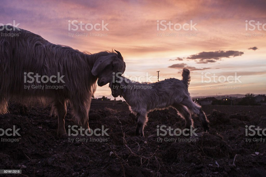 Goat and itd bsby on sunset royalty-free stock photo