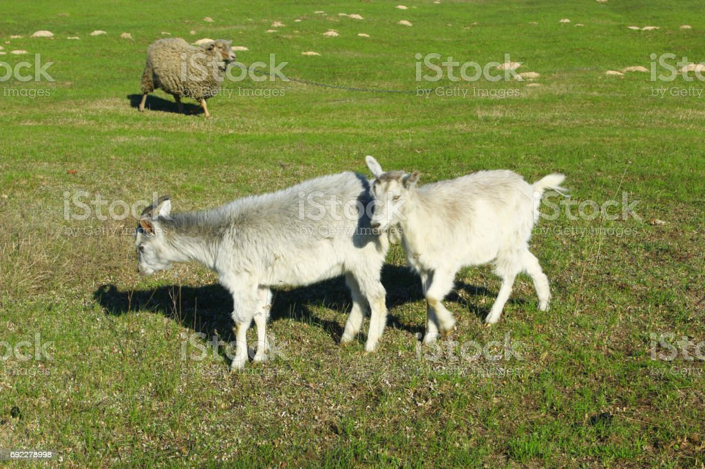 Goat and kid on the pasture stock photo