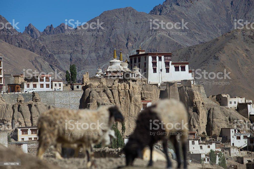 goat and Lamayuru monastery in Ladakh stock photo