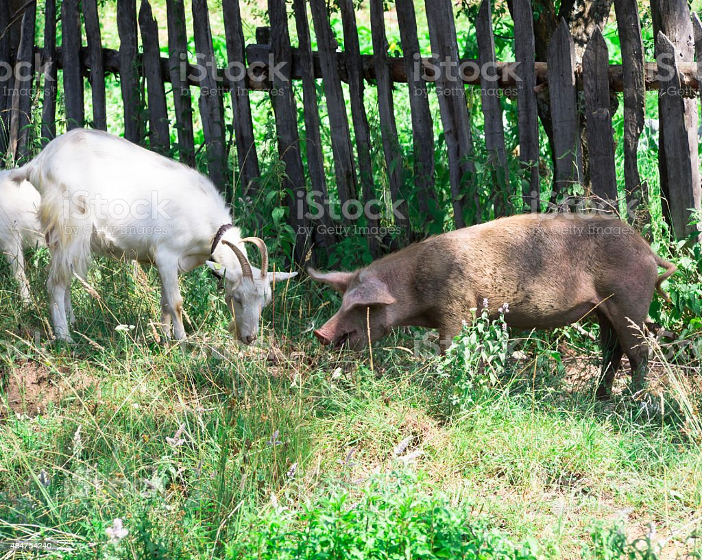 goat and pig stock photo