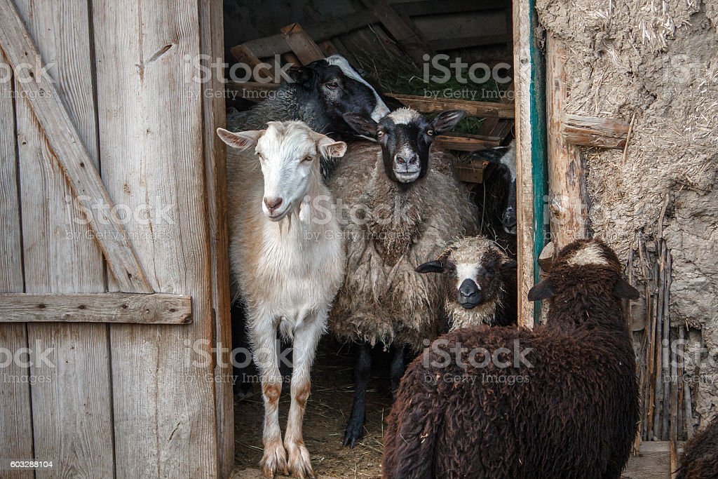 goat and sheeps in the doorway of the barn. stock photo