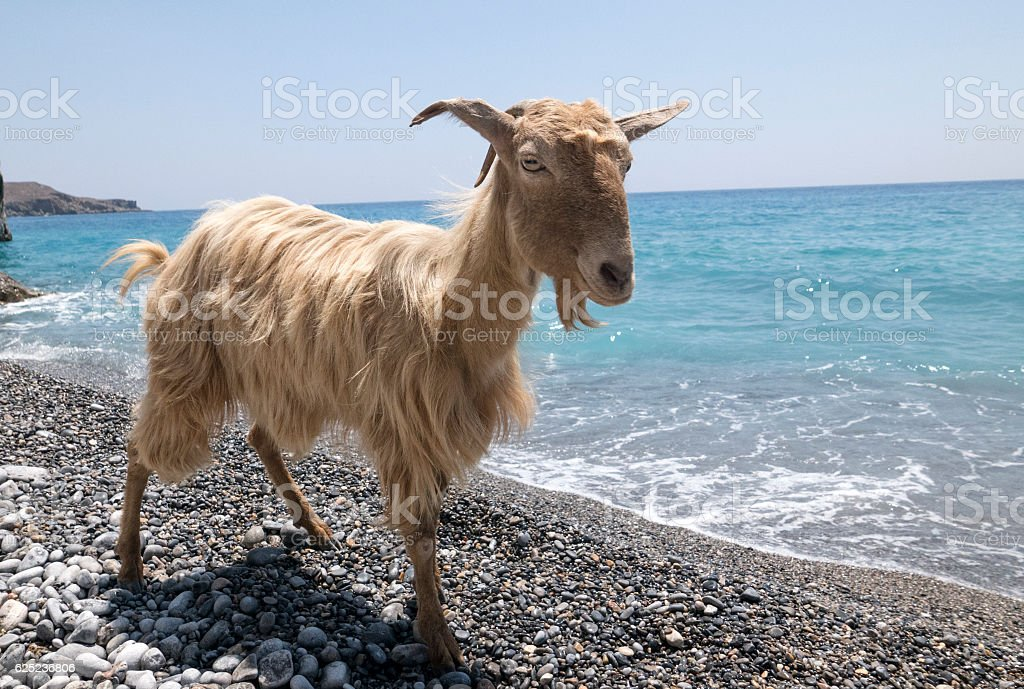 Goat and the sea stock photo