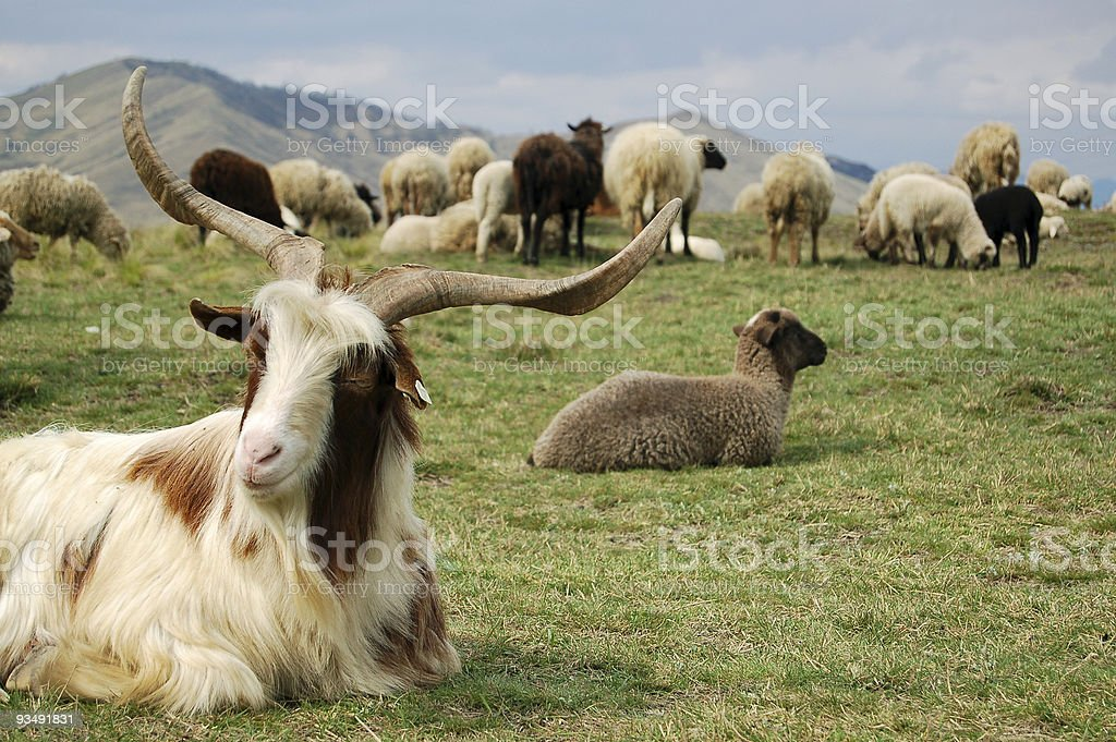 Goat and the sheep royalty-free stock photo
