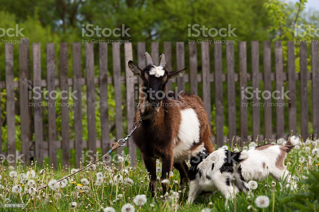 Goat and yeanlings. stock photo