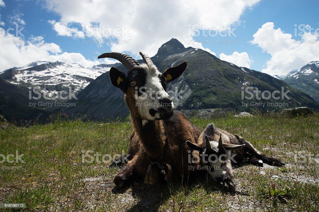 Goat at the Koelnbrein Dam, Carinthia, Austria stock photo