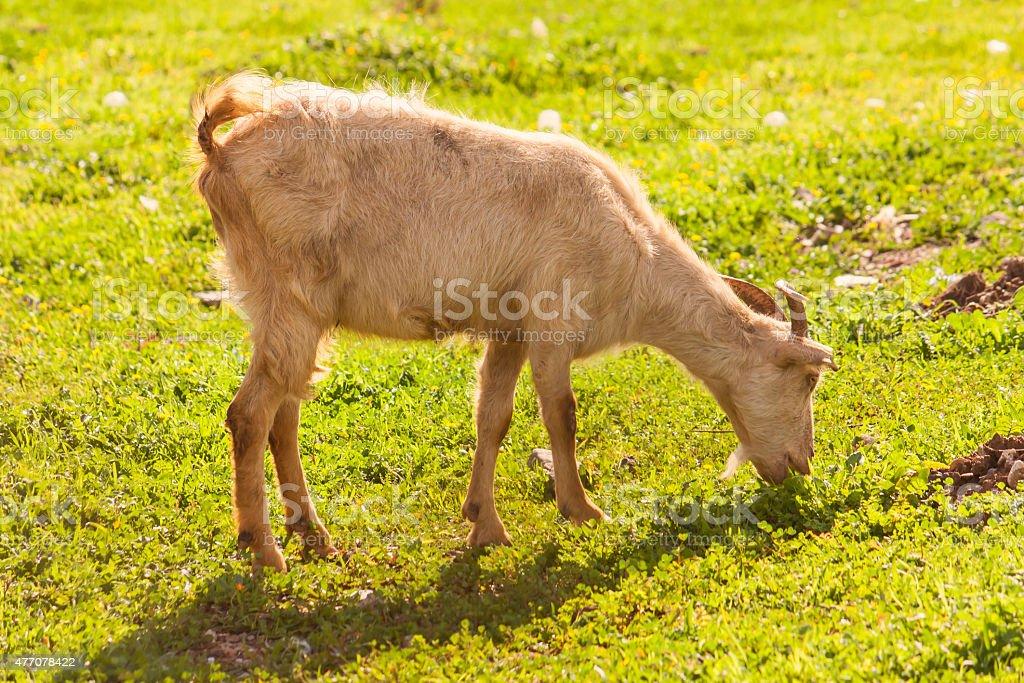 goat, beautiful in nature animal photograph stock photo