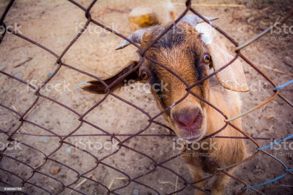 Goat behind the fence stock photo