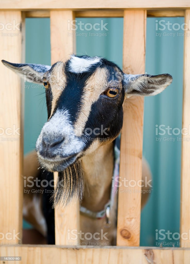 Goat being milked royalty-free stock photo