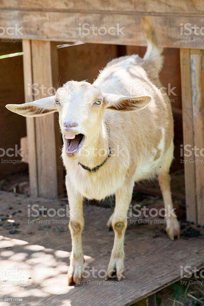 goat bleating stock photo