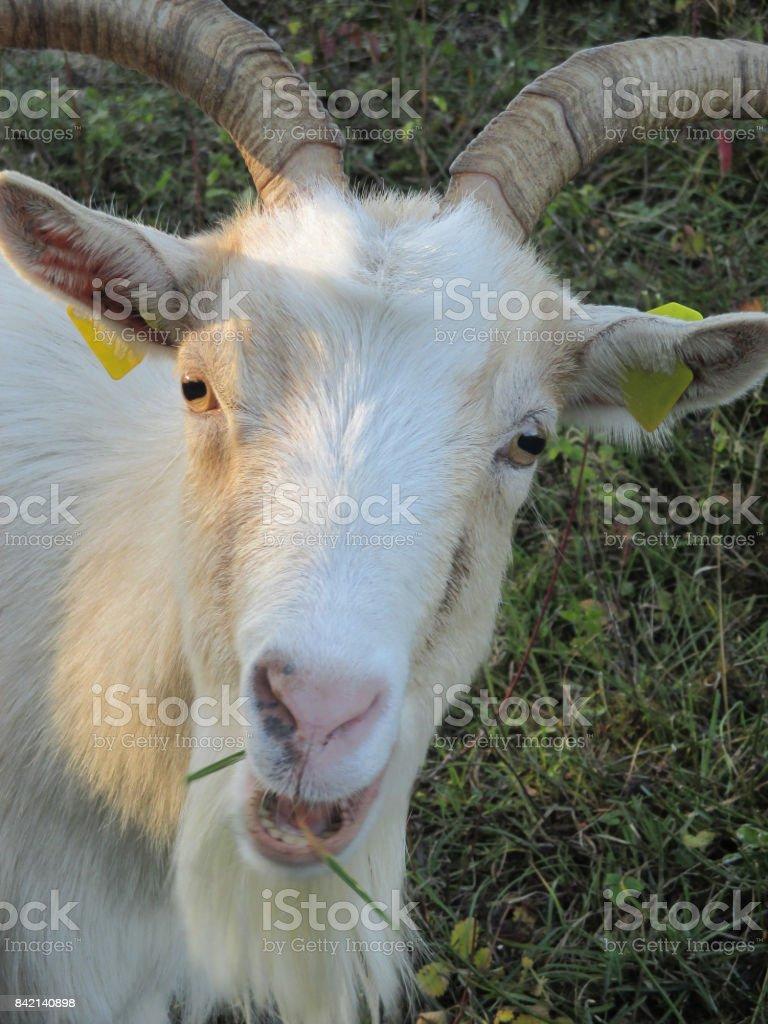 Goat 'Chèvre des fossés' breeding in the open air stock photo