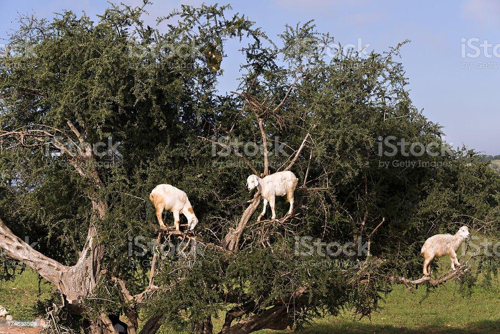 Goat climbing an Argan Tree in Morocco royalty-free stock photo