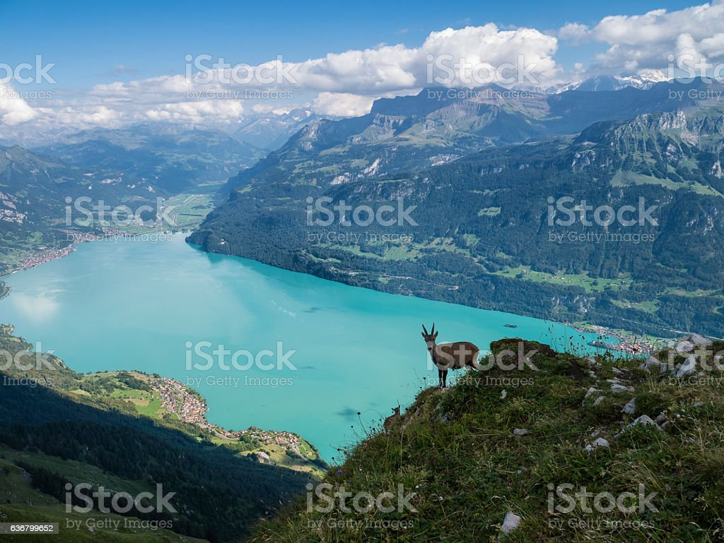 Goat Climbing in the Alps stock photo