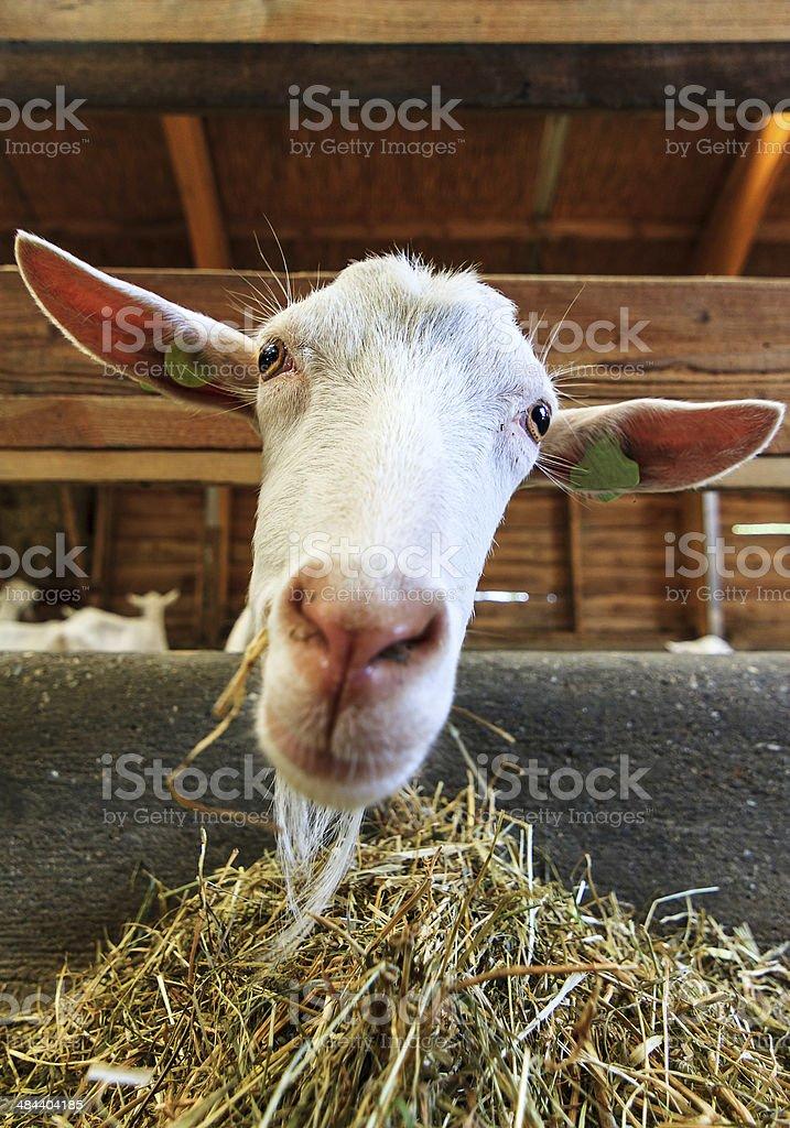 Goat close portrait stock photo