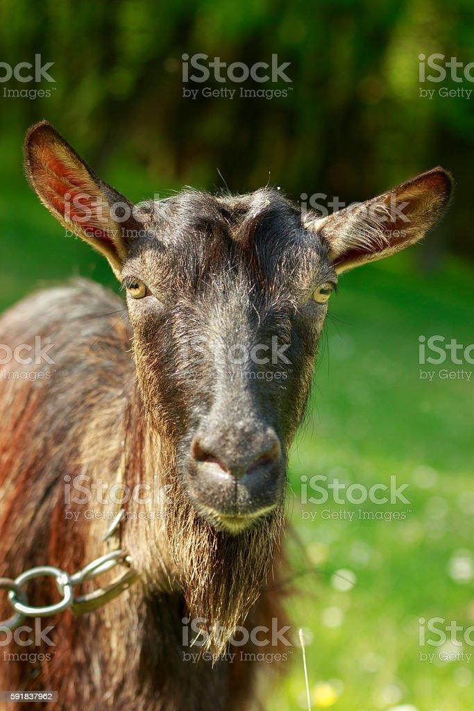 Goat Close-Up stock photo