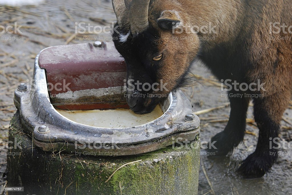 goat drinking water out of a pot stock photo