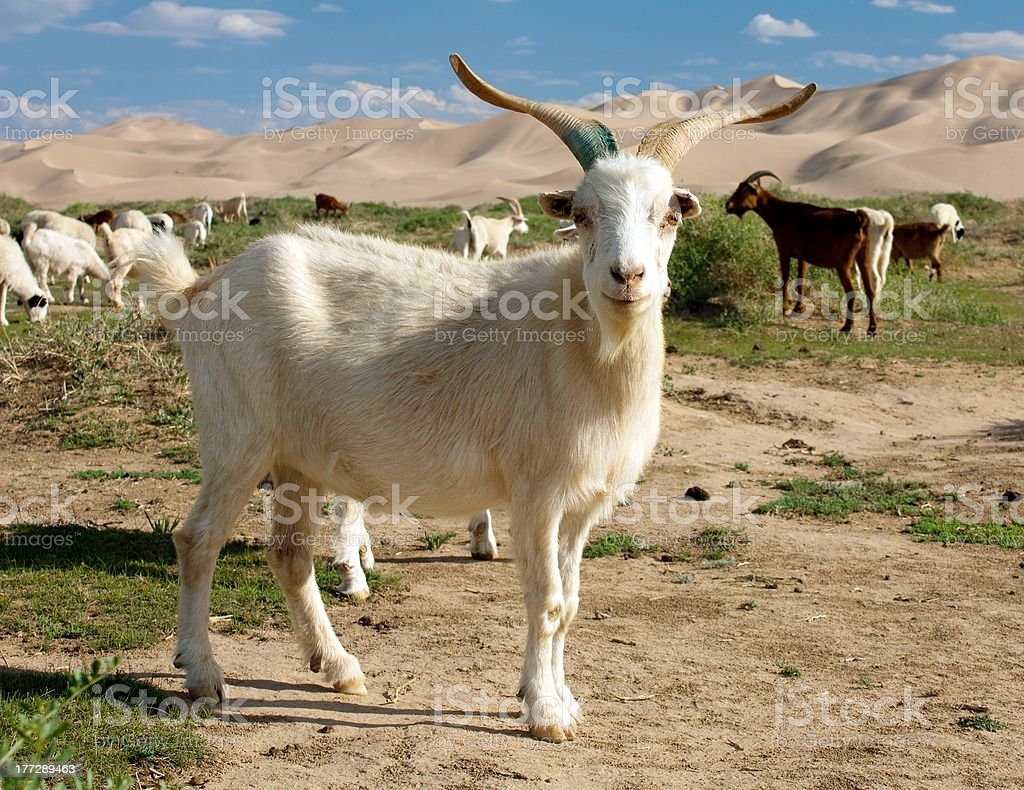 dune de chèvre de Mongolie photo libre de droits