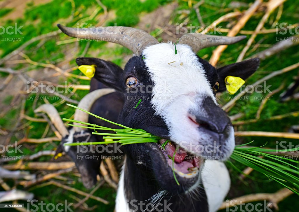 Goat eating grass stock photo