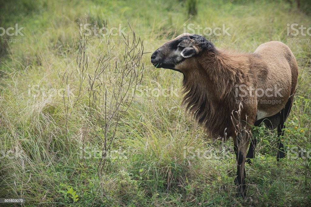 Goat eating grass royalty-free stock photo